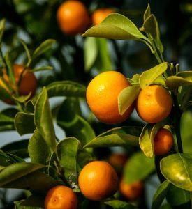 "Our Orange Tree (Telugu Original ""Maa Narinja Chettu"" by  Dr K.Geeta)"